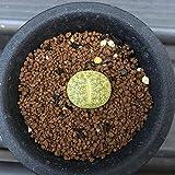 多肉植物:リトープス レスリー アルビニカ*幅2cm