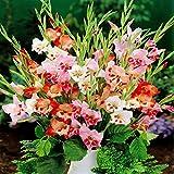 Glaïeul nanus mixte - 10 bulbes de fleurs