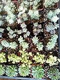"""20 Gorgeous Succulents in 2"""" plastic pots"""