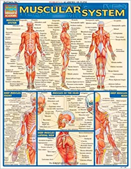 Muscular System (Quickstudy: Academic): Inc. BarCharts