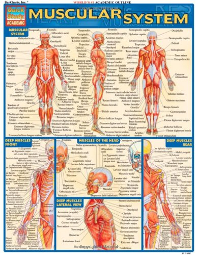 Muscular System (Quickstudy: Academic) (Anatomy Chart Muscles compare prices)