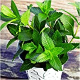 Package of 1,000 Seeds, Peppermint Herb (Mentha piperita) Non-GMO Seeds By Seed Needs