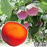 国華園 果樹苗 スモモ 貴陽普通台 1株