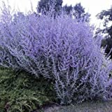 "Perovskia atriplicifolia ""Blue Spire"" (Salvia Siberiana) [Vaso Ø17cm]"