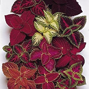 "(ACOLX)~BULK~""RAINBOW MIX"" COLEUS~Seeds!!!!~~~~~~~~250+~~Rainbow Colors in Bulk!!"