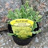 Alpine Rockery Plant Alyssum saxatile Summit in 9cm Pots - Rockery Alpine Perennial Plant