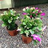 PACK OF 3 Christmas Cactus Plant 12-15cm - House Plant - Great Christmas Present For Mum Dad Grandad Grandma Sister Brother plants for presents
