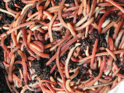 tiger-composting-worms-50g