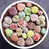 Live Fat Succulent Plant Mini Succulents Colorful Lithops Grow Fast 10 PCS Collection (0.15