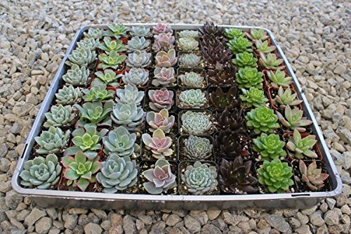 40 Succulent Rosette Collection