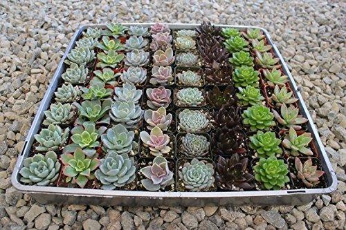 40 Succulent Rosette Collection