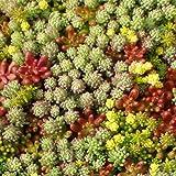 Sedum Mischung - Dachbegrünung - Gründach - 100 Samen