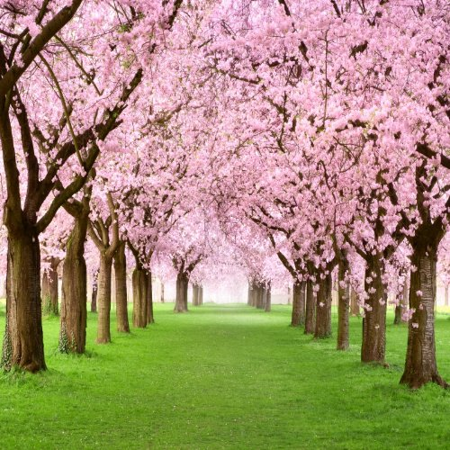 Blossoming Cherry Trees on a Green Lawn