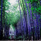 Loss Promotion! 60 Pieces Seeds Rare Purple Bamboo Seeds Decorative Garden Lucky Bamboo Garden Plants Seeds