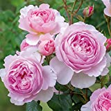 イングリッシュローズ:ジ・エンシェント・マリナー大苗5号角鉢植え[ピンクに強いミルラ香]