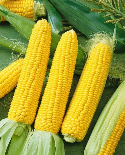 Incredible Hybrid Corn Seeds - Zea Mays - 14 Grams - Approx 100 Gardening Seeds - Vegetable Garden Seed