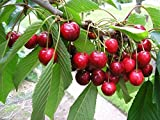 Cherry Tree Seeds - BING - Favorite Amongst Cherry Trees - Sweet Fruit -10 Seeds