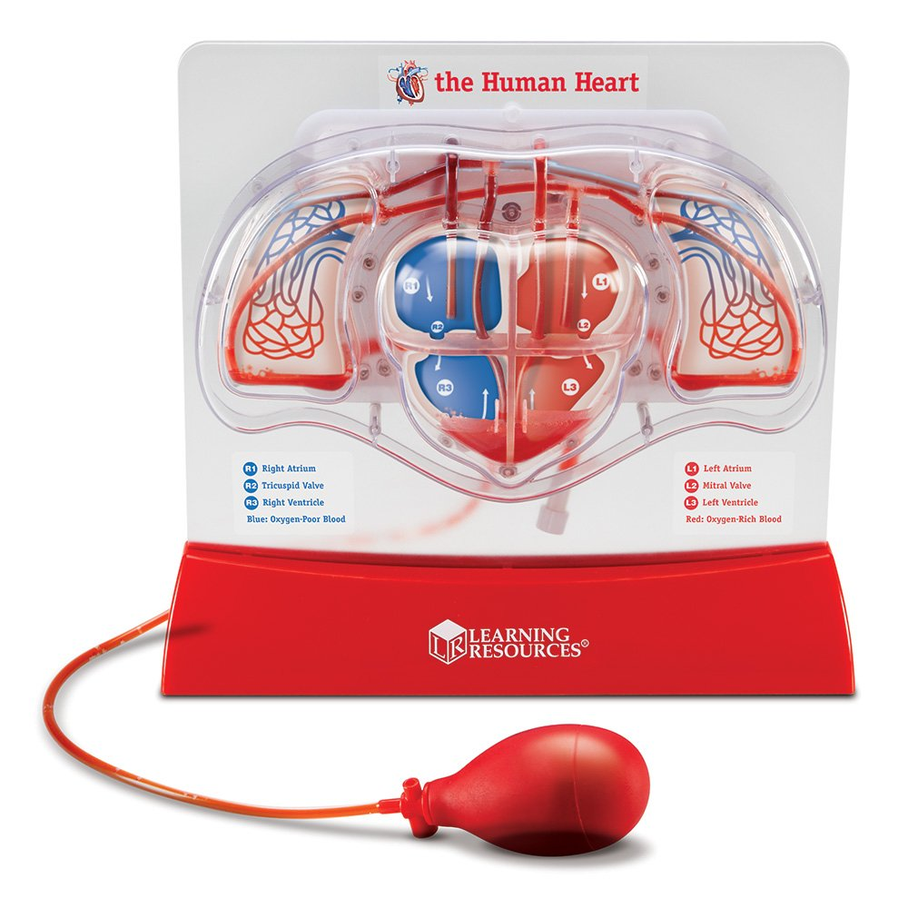 Pumping Heart Model Heart Chambers Study Science Medical ...