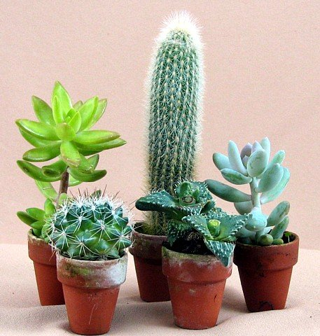 Buy Instant Cactus Collection -5 Different Plants 1.5″ pots