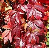 Tree Seeds Online - Parthenosissus Quiunquifolia- Crimson Virginia Creeper. 20 Seeds - 5 Packs
