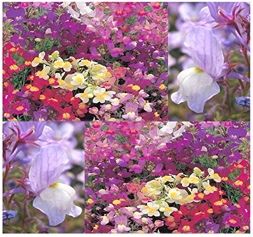 20,000 FAIRY BOUQUET BABY SNAPDRAGON TOADFLAX