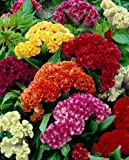 """(ACEL)~""""GIANT COCKSCOMB MIX"""" CELOSIA~Seed!~~~~~Lots of WOW!!!"""