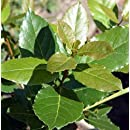 Hirt's Sweet Bay Laurel Herb - Laurus nobilis - Quart Pot