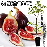 国華園 果樹苗 イチジク 桝井ドーフィンR大株 1株