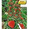 Kletter-Erdbeere® 'Hummi®', 3 Pflanzen Fragaria