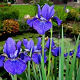 Iris sibirica Deep Blue - 9 plants
