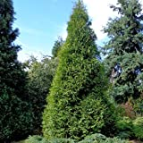 1 STARTER PLANT of Murray Cypress - Gallon