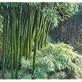 10 Seeds Phyllostachys edulis Giant Moso Bamboo