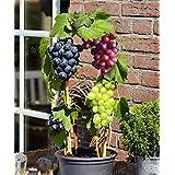 Grape Seeds -Summer Garden Fruit Super Sweet Fragrant Bonsai Indoor Outdoor Climbing Bonsai Grapes