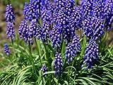 【6か月枯れ保証】【球根】ムスカリ/紫色 9.0cmポット 40本セット