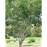 SEED Seller: Pongamia Pinnata (Millettia Pinnata) Tree Seeds For Growing. A Fast-growing Deciduous Tree Known...