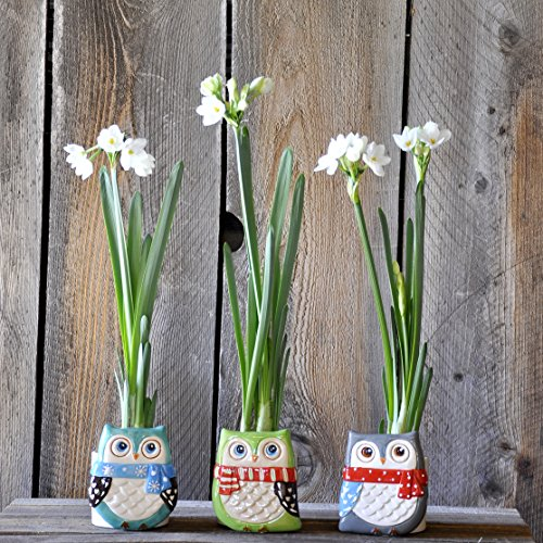 Paperwhites Gift Containers