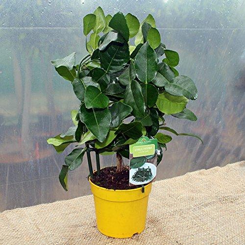 citrus-hystrix-kaffir-lime-espalier-1l-pot-25-30cm-high-exc-pot