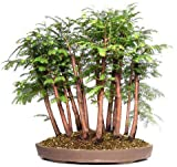 (DRF Za#009) Tree Seeds 50 Pcs Dawn Redwood Forest Bonsai Seeds - Metasequoia Glyptostroboides - Grow Your Own Bonsai Tree Kit