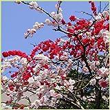 花桃の苗木 源平しだれ桃(咲き分け)