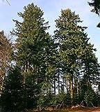 120 Samen Gewöhnliche Douglasie *Größtes Exemplar war 133 Meter hoch*