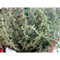 Silver Christmas Thyme Plant - 4