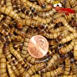 500 Live Superworms Organically Grown By Gimminy Crickets & Worms