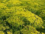 SeeKay Dill Dukat - Appx 3000 seeds - Herb