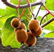 Hardy Fuzzy Kiwi 2 Plants - Matua/Saanichton - Actinidia - Large Fruit - Qrt Pot