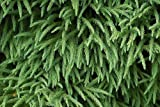 Tree Seeds Online - Cryptomeria Japonica- Japanese Cedar 25 Seeds - 2 Packs