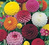 Premier Seeds Direct DAH03F Dahlia Pompone Double Mixed Finest Seeds (Pack of 60)
