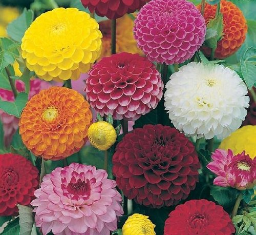 premier-seeds-direct-dah03f-dahlia-pompone-double-mixed-finest-seeds-pack-of-90