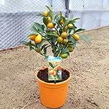 Kumquat Nagami Orange Citrus Plant - Approx 25cm Tall - In Fruit - Calamondin Orange Tree Type Plant
