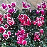 ガーデンシクラメン:メティスファンタジア花色ミックス3号ポット 3株セット