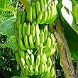 Banana Plants \